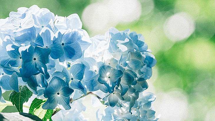 日本で6月という季節を連想させる代表的な花の一つであるアジサイの画像
