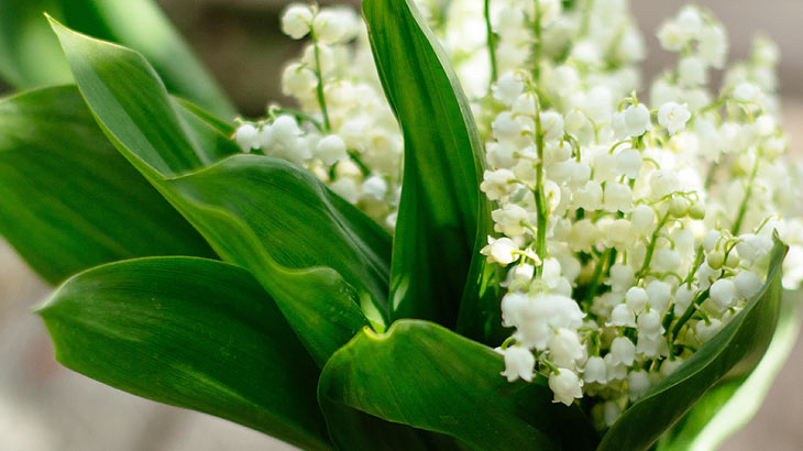 lily_of_the_valley_pic