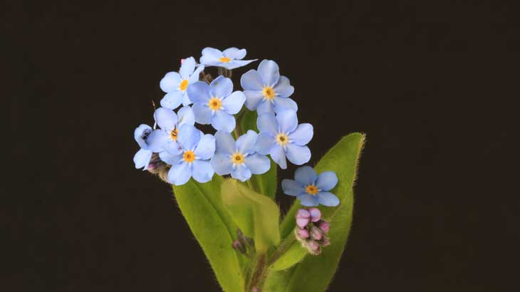 Pic-of-flower-forget-me-not