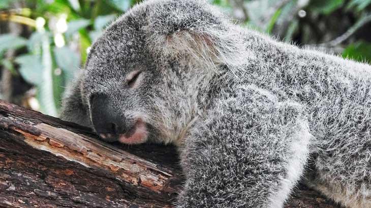 Australia is famous for koalas