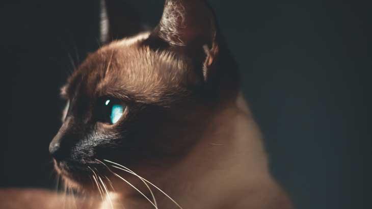 Siamese cat photo